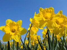 Google images daffodils clip freeuse download Daffodils, Fields and Search on Pinterest clip freeuse download