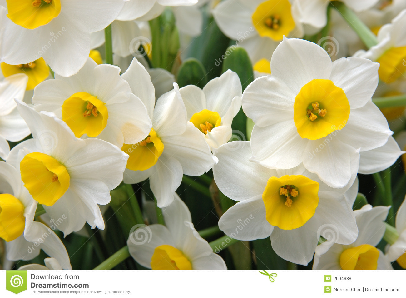 Google images daffodils png free stock White Daffodils Royalty Free Stock Photos - Image: 2004988 ... png free stock