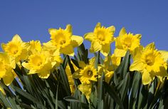 Google images daffodils clipart royalty free download Daffodils, Fields and Search on Pinterest clipart royalty free download
