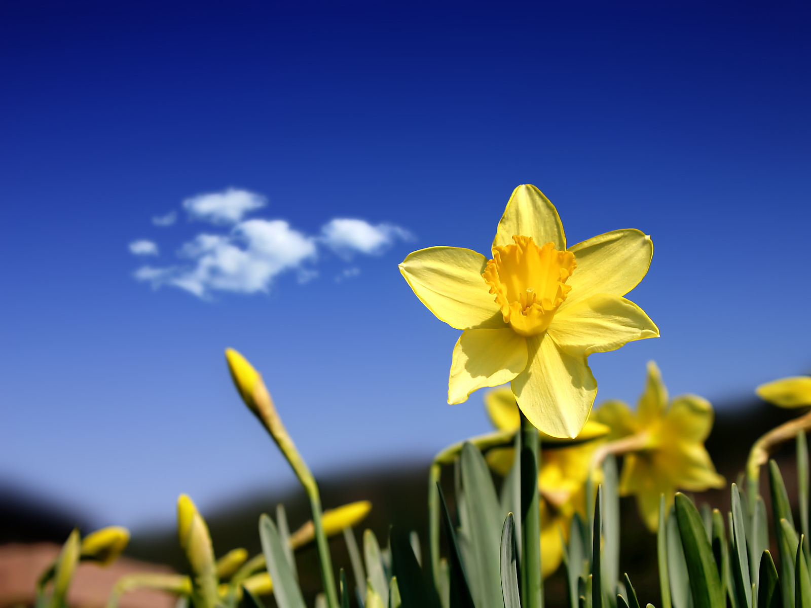 Google images daffodils picture stock Pretty Daffodil Wallpapers, Images, Wallpapers of Pretty Daffodil ... picture stock