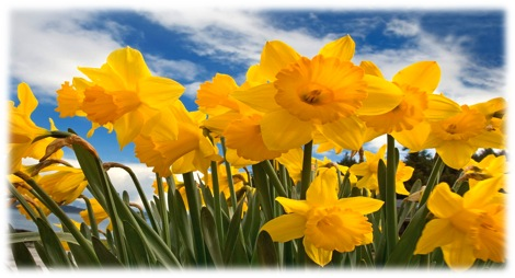 Google images daffodils image freeuse download The Bright Promise of Spring…Daffodils!! image freeuse download