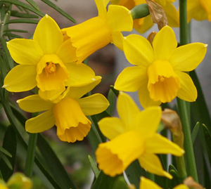 Google images daffodils graphic download How to Grow Daffodils Outside and Force Daffodil Bulbs Indoors graphic download