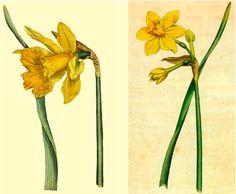 Google images daffodils jpg transparent download march - daffodil | tattoo | Pinterest | Daffodils, Stand Tall and ... jpg transparent download