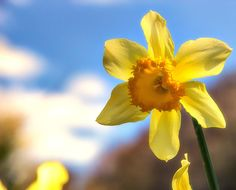 Google images daffodils banner library stock daffodils - Google zoeken | Daffodils | Pinterest | Photos, Spring ... banner library stock