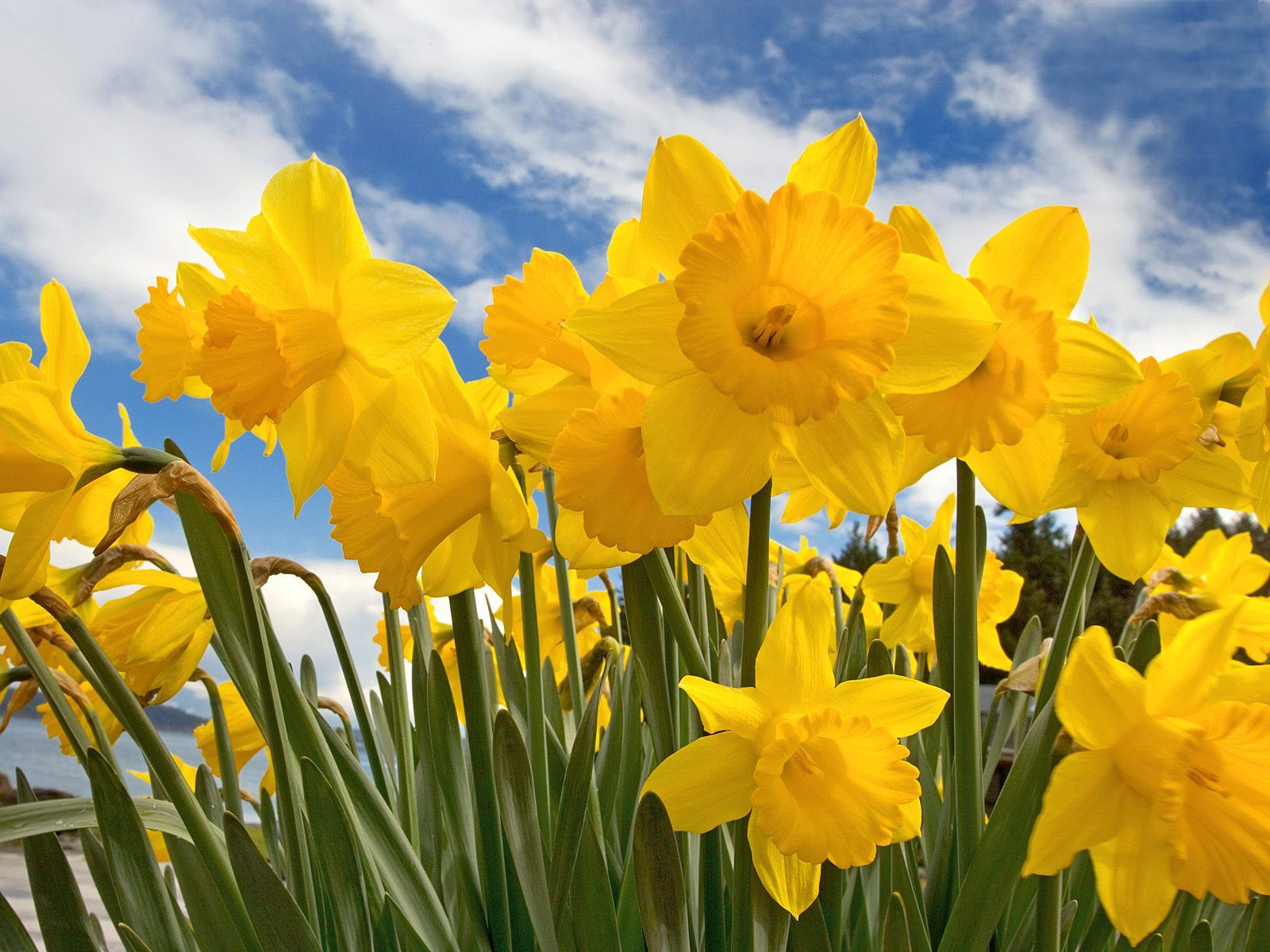 Google images daffodils picture transparent stock Google images daffodils - ClipartFest picture transparent stock