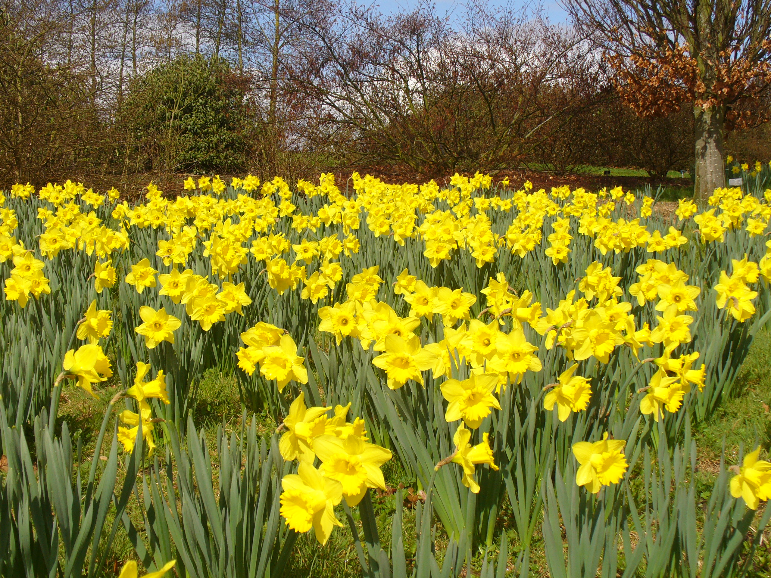 Google images daffodils image library download Google images daffodils - ClipartFest image library download