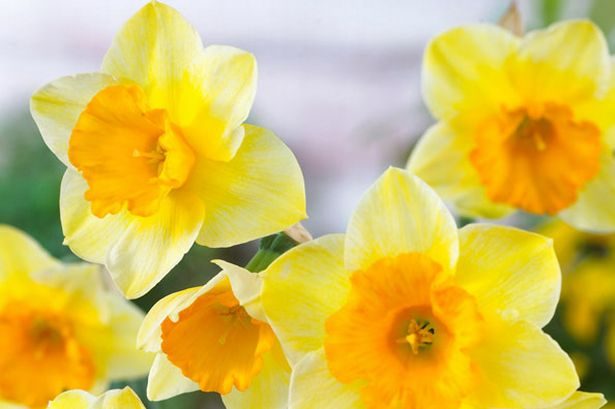 Google images daffodils image freeuse download Saint David's Day: The best pictures on social media from Twitter ... image freeuse download