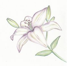 Google images lilies png black and white Pencil Illustration day lilly | Lilies Drawing In Pencil Picture ... png black and white