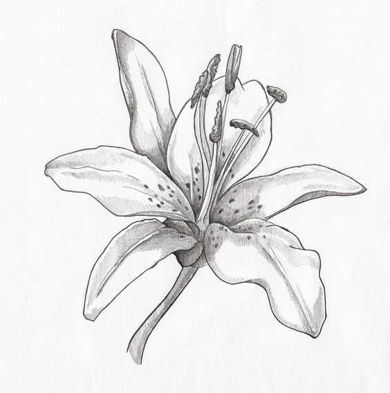 Google images lilies png freeuse stock Lilies drawing - Google Search | Flowers | Pinterest | Drawings ... png freeuse stock
