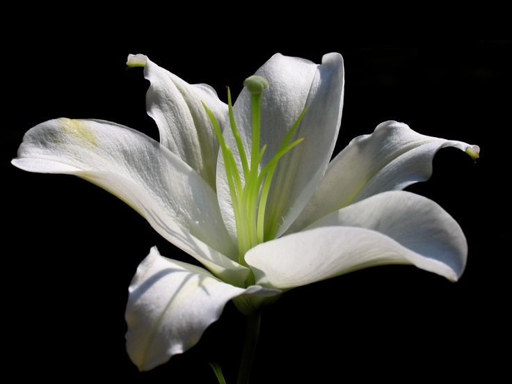 Google images lilies banner 17 Best images about LILY FLOWER on Pinterest | Flower wallpaper ... banner