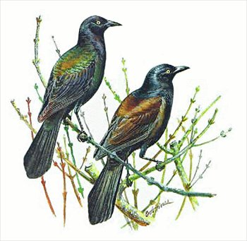 Grackle clipart image library library Free Grackle Clipart - Free Clipart Graphics, Images and Photos ... image library library