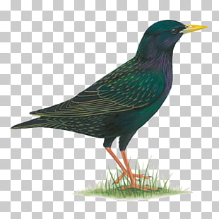 Grackle clipart graphic library library 7 common Grackle PNG cliparts for free download | UIHere graphic library library