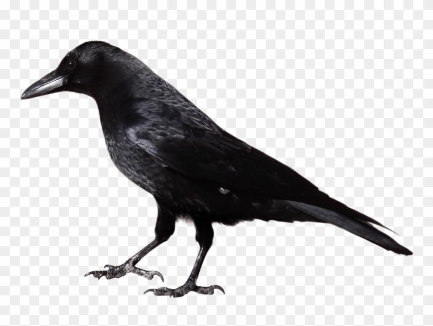 Grackle clipart image free Bird,Vertebrate,Crow,Beak,Fish Crow,Raven,raven,American crow,New ... image free