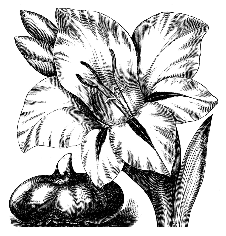 Graphic art flower vector black and white download Vintage Clip Art - Flower Engravings - Gladiolus and Dahlias - The ... vector black and white download