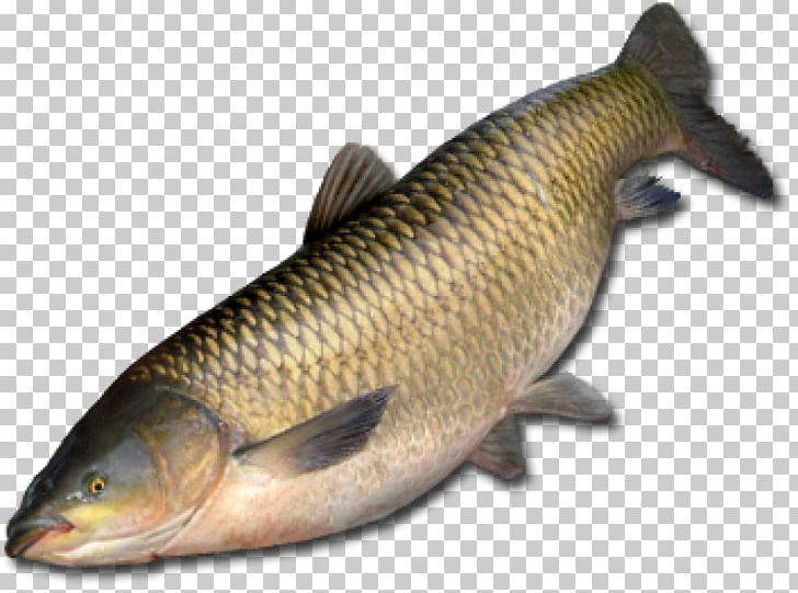 Grass carp clipart jpg freeuse download Amur River Grass Carp Common Carp Fish Northern Pike PNG, Clipart ... jpg freeuse download