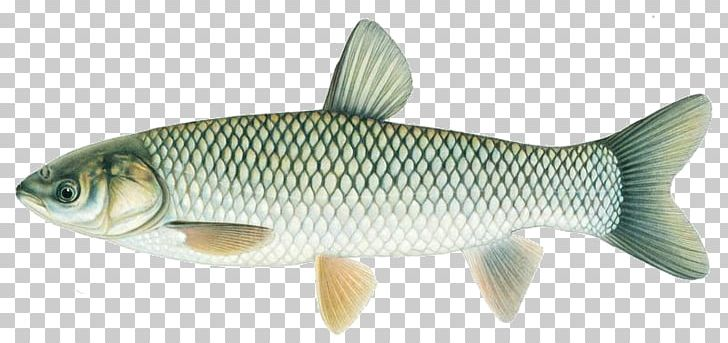 Grass carp clipart image freeuse Common Carp Grass Carp Silver Carp Bighead Carp PNG, Clipart, Animal ... image freeuse
