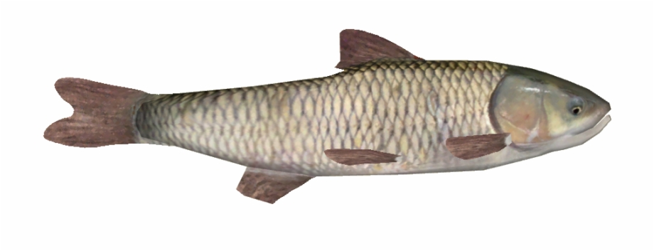 Grass carp clipart clipart library stock Grass Carp /version 1 - Oily Fish Free PNG Images & Clipart Download ... clipart library stock