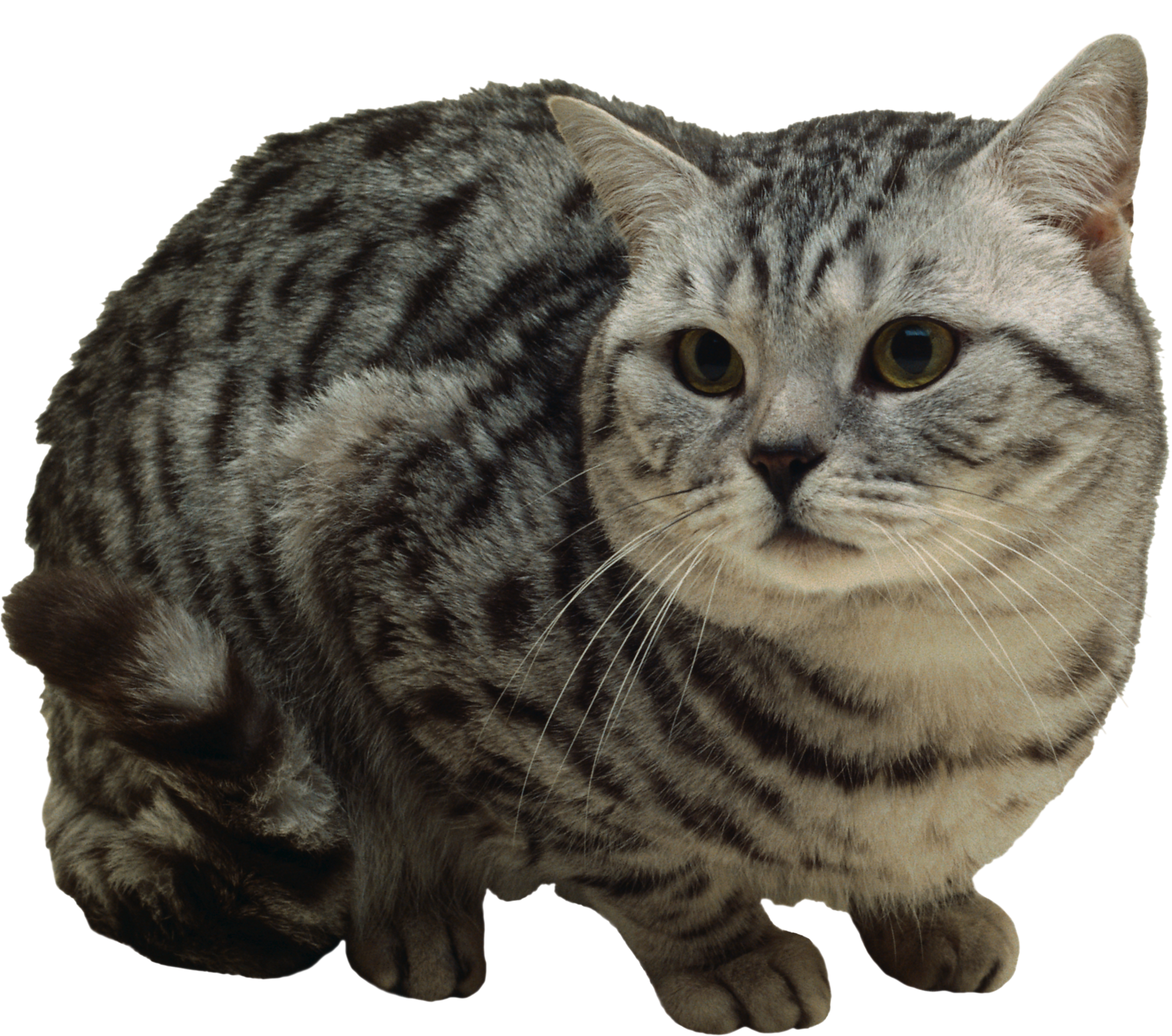 Gray tabby cat clipart clipart free download Cats png free images, download clipart free download