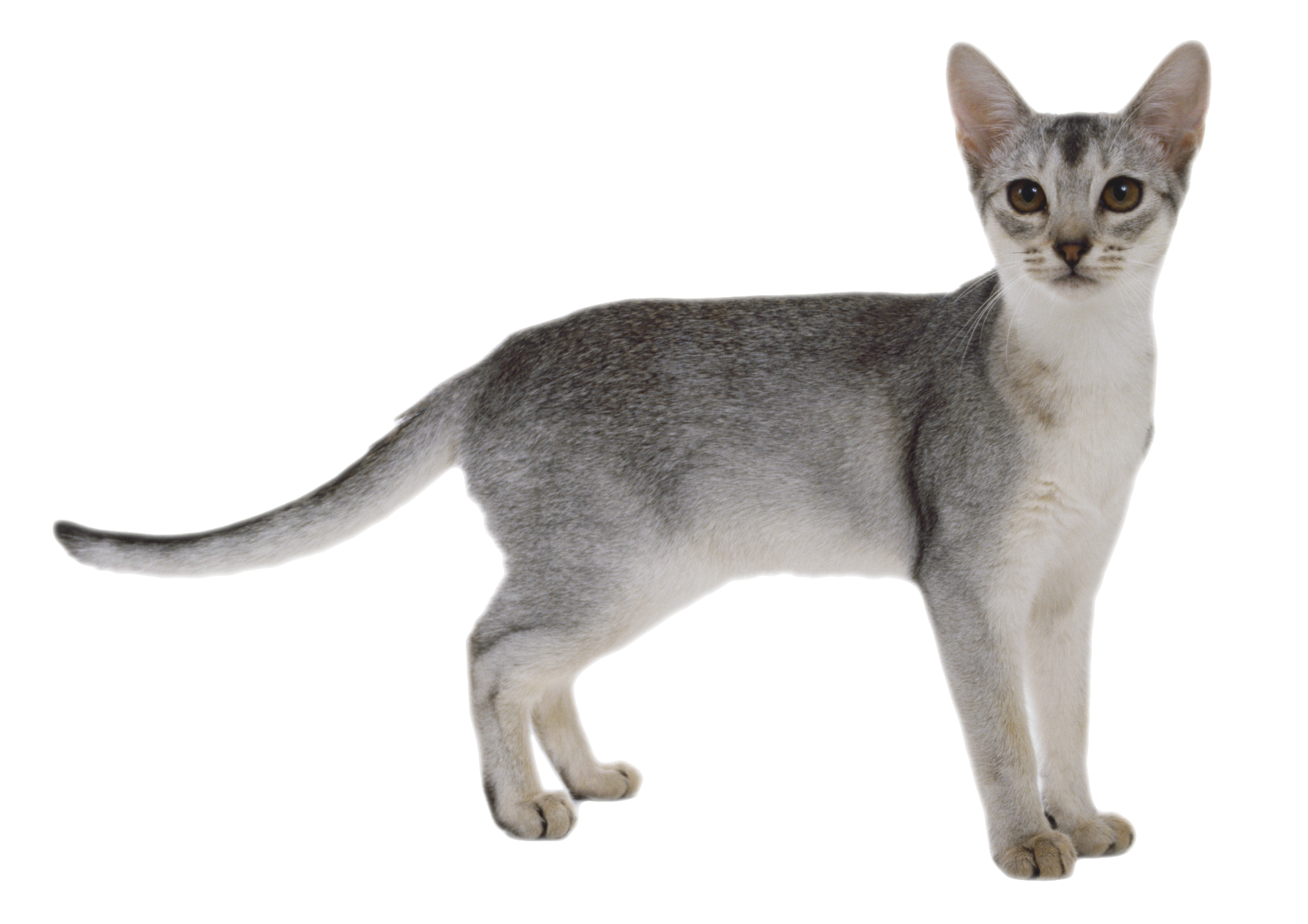 Gray tabby cat clipart clip free stock Gray Cat PNG Image - PurePNG | Free transparent CC0 PNG Image Library clip free stock