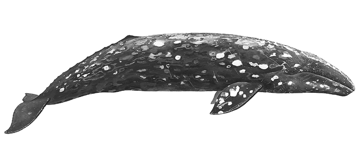 Gray whale clipart clip art black and white The Marine Mammal Center : Gray Whale clip art black and white