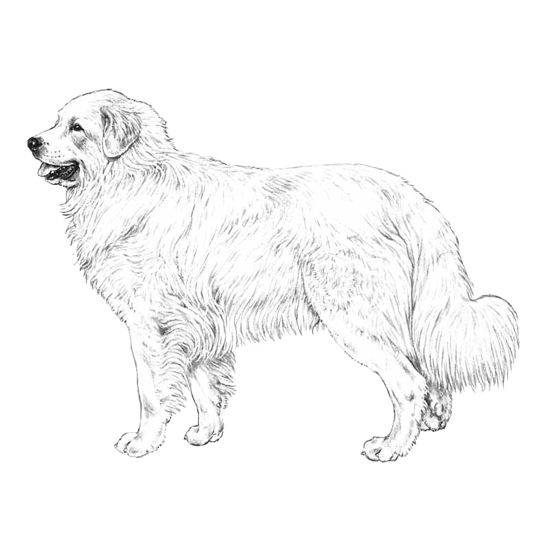 Great pyrenees dog clipart clip art royalty free IPFD Harmonization of Genetic Testing for Dogs: Press Release - IPFD ... clip art royalty free