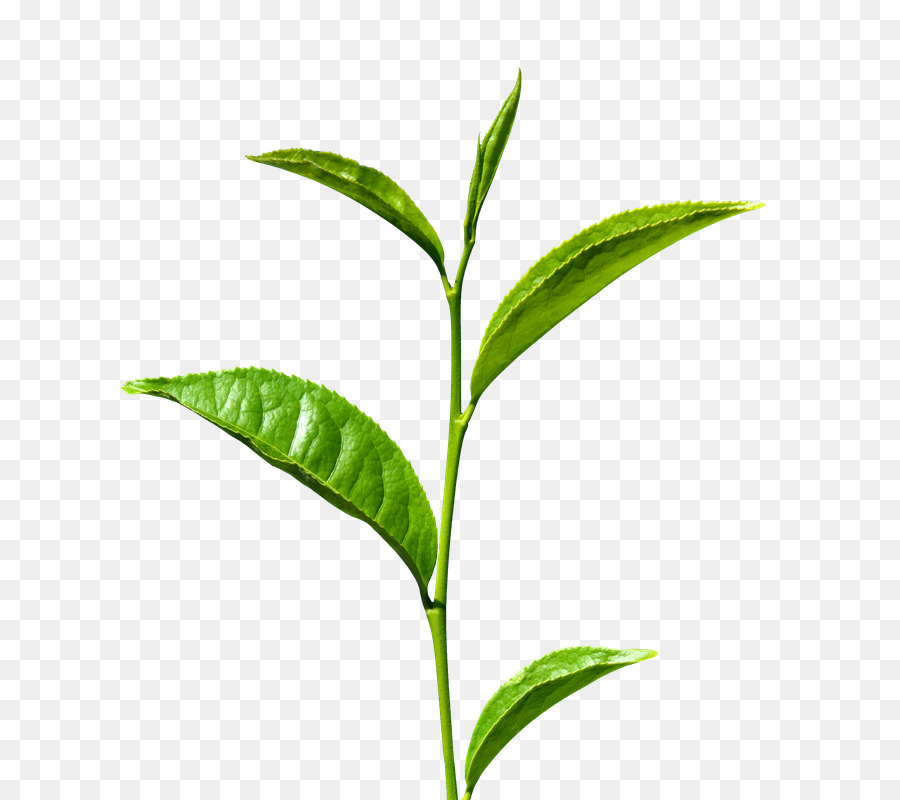 Green tea leaves clipart picture transparent library Green Tea Leaf png download - 800*800 - Free Transparent Tea png ... picture transparent library