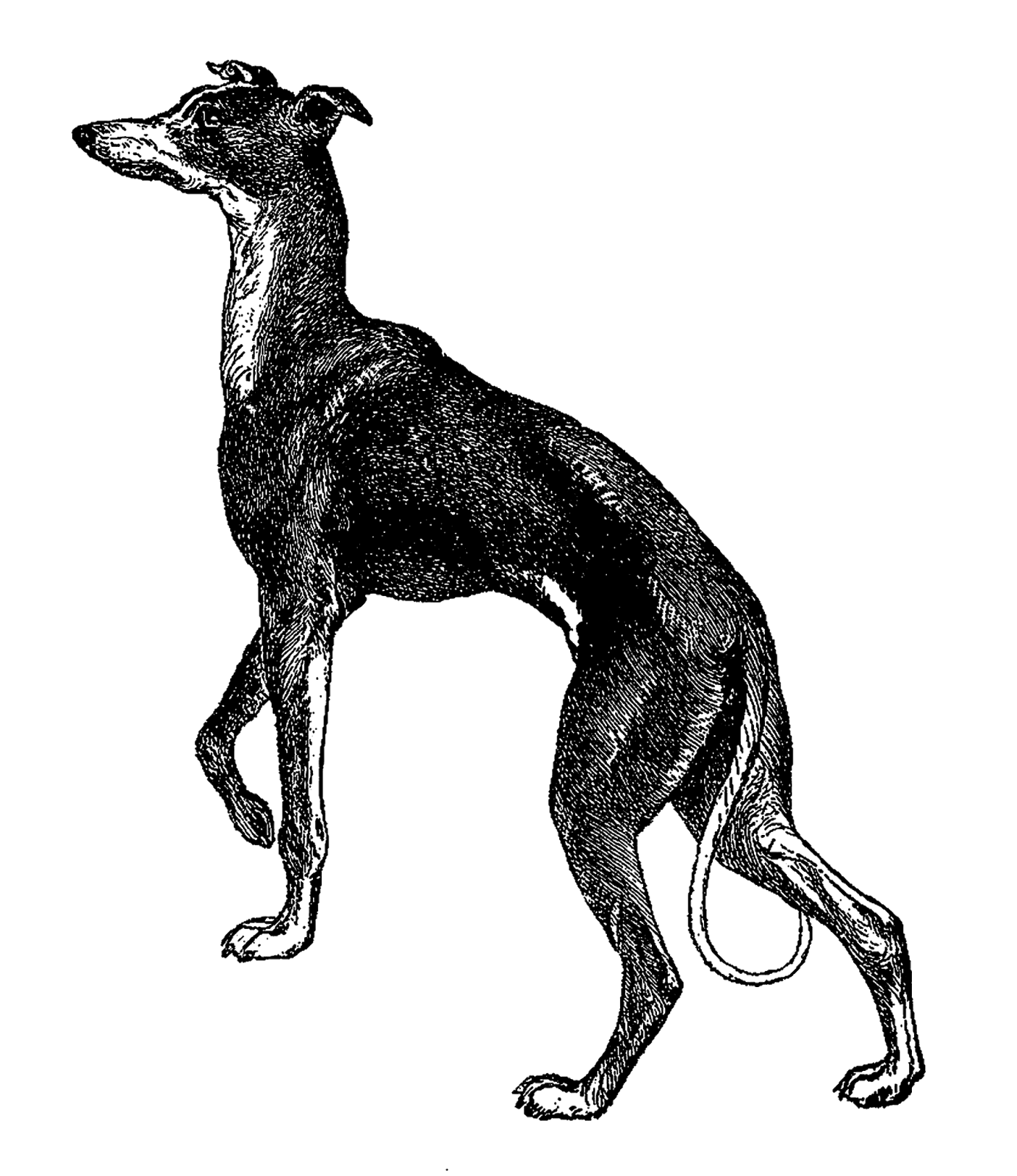 Greyhound dog clipart stock 28+ Collection of Italian Greyhound Clipart | High quality, free ... stock