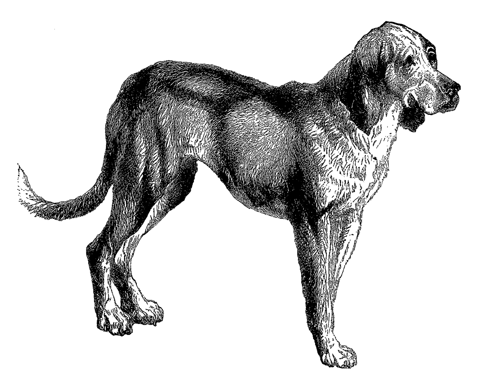 Portuguese water dog clipart image library download Bloodhound Clipart Image Group (86+) image library download