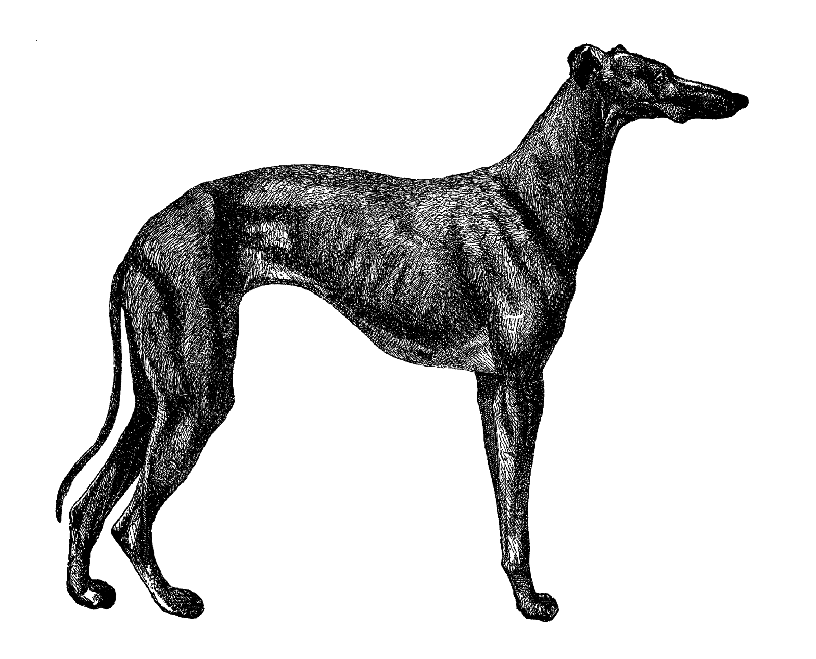Greyhound dog clipart black and white download Digital Stamp Design: Free Printable Dog Breed Clip Art Greyhound ... black and white download