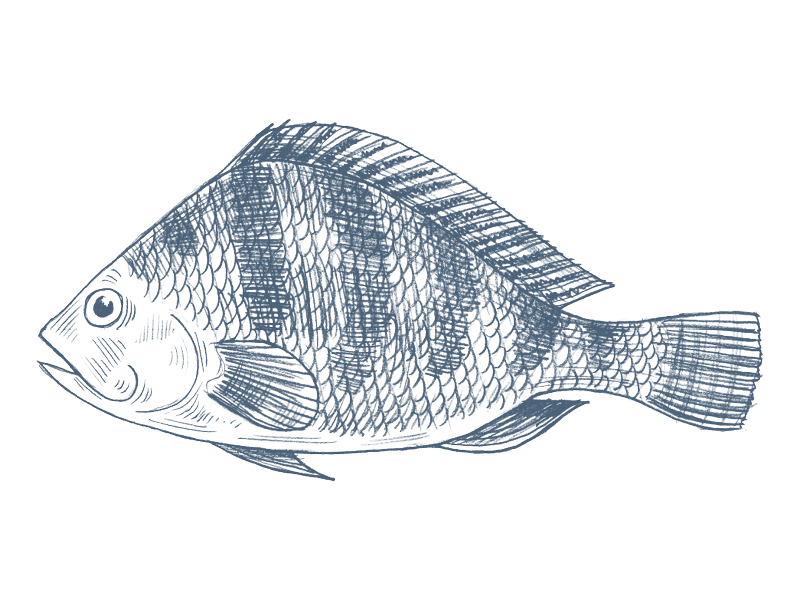 Haddock fish clipart svg royalty free stock Tilapia Drawing at GetDrawings.com | Free for personal use Tilapia ... svg royalty free stock