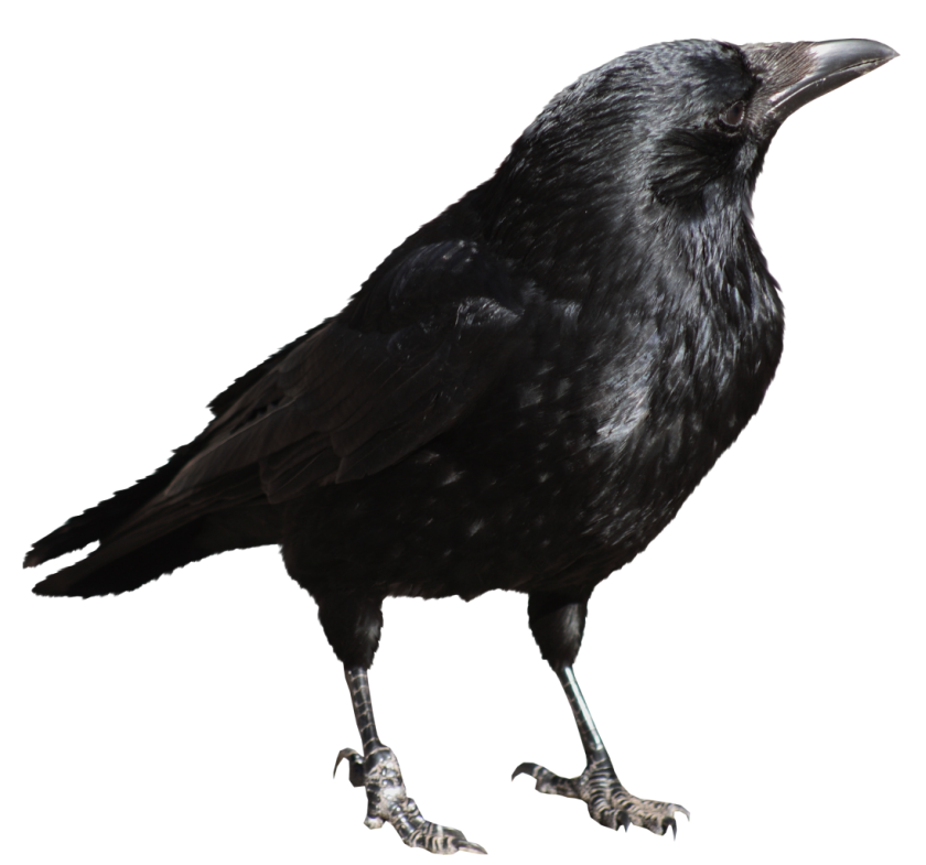 Halloween crow clipart picture free Crow Transparent PNG Picture   Gallery Yopriceville - High-Quality ... picture free