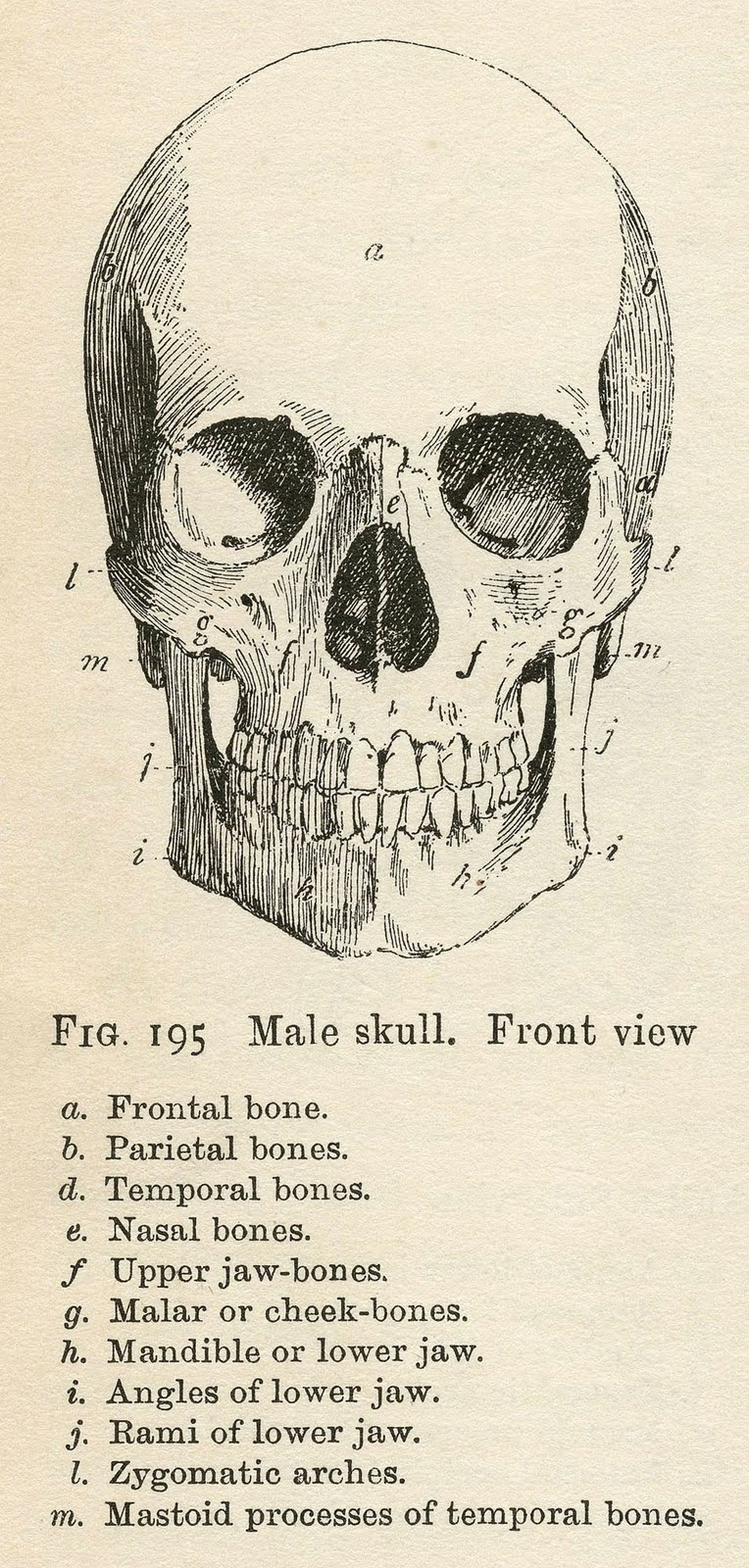 Halloween printable clipart clip art library Vintage Anatomy Clip Art - Bones & Skull - Halloween - The ... clip art library