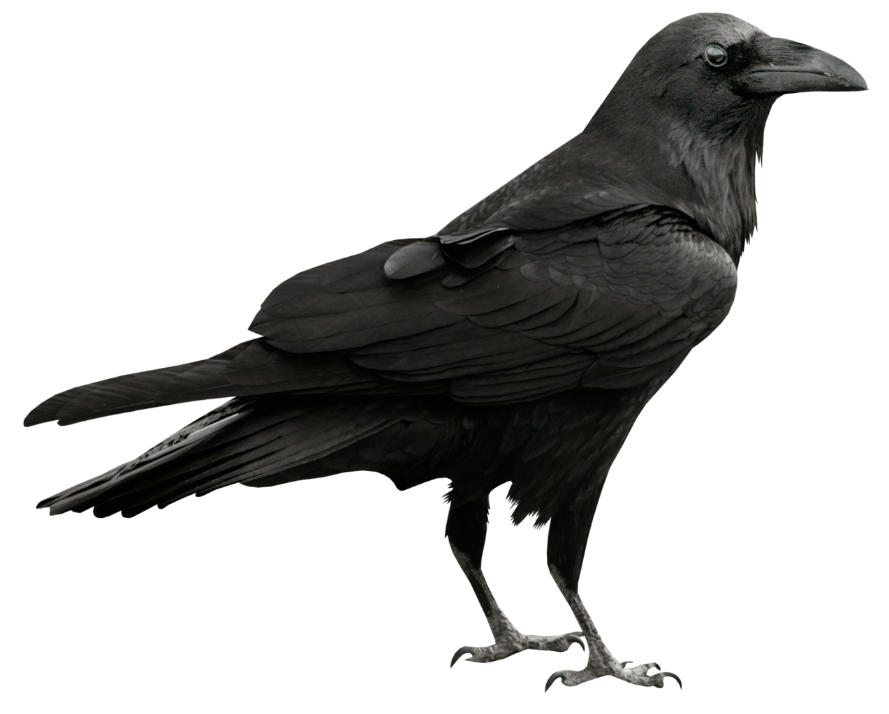 Halloween raven clipart image royalty free library Raven Transparent PNG Picture | Gallery Yopriceville - High-Quality ... image royalty free library