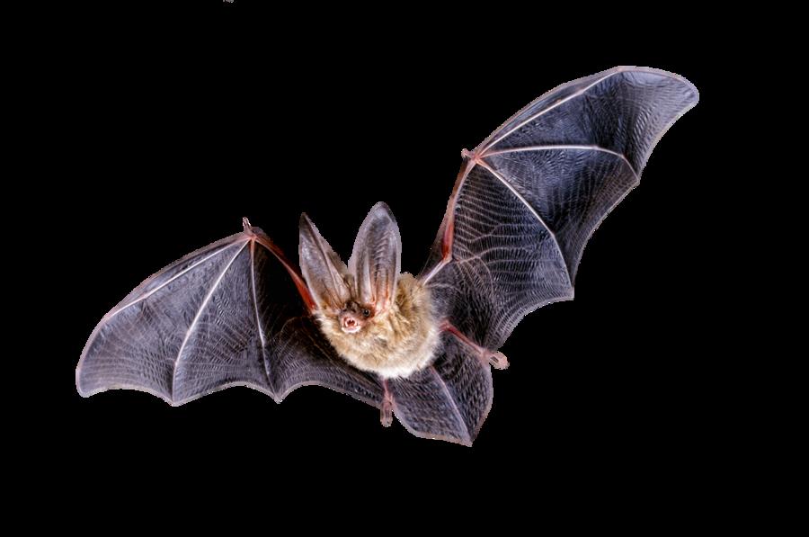 Halloween softball bats clipart royalty free library Bat PNG Transparent Bat.PNG Images. | PlusPNG royalty free library