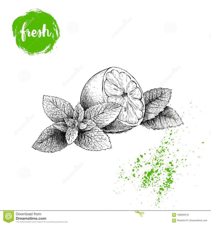 Hand drawn lemon peppermint clipart png transparent stock Mint Leaf Vector Drawing | Jidileaf.co png transparent stock