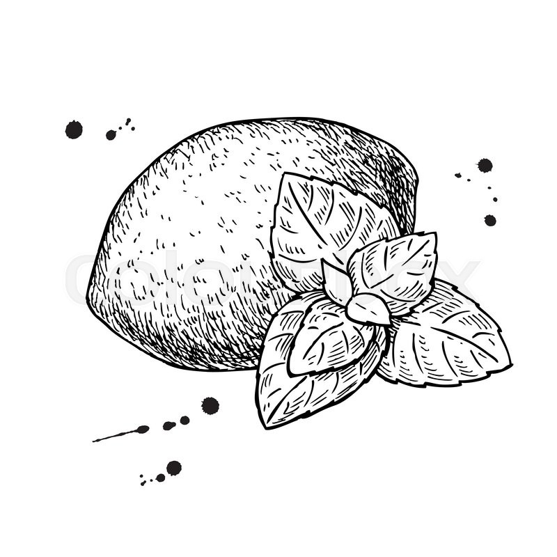 Hand drawn lemon peppermint clipart graphic royalty free download Mint Sketch at PaintingValley.com | Explore collection of Mint Sketch graphic royalty free download