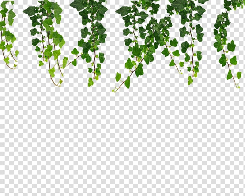 Hanging of the green clipart png Green hanging plants , Vine , Vines transparent background PNG ... png