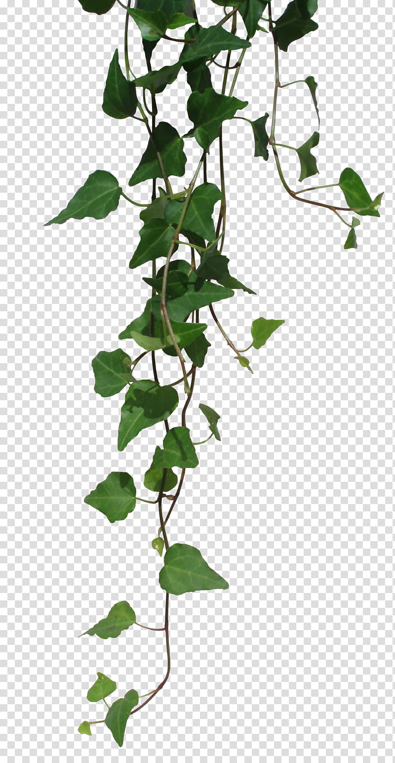 Hanging vines clipart graphic free RNDOM, green vines transparent background PNG clipart | HiClipart graphic free