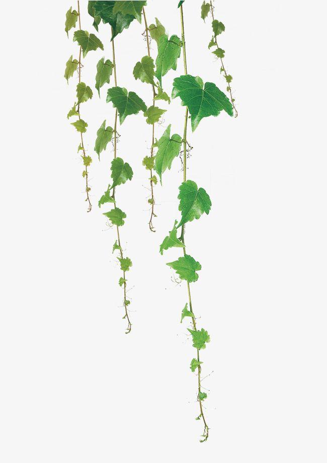 Hanging vines clipart image black and white stock Green Leaf Vine, Vine Clipart, Green Leaves PNG Transparent Image ... image black and white stock