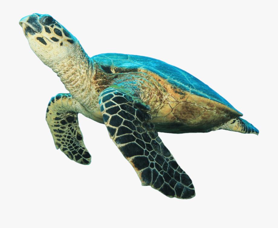Hawksbill sea turtle clipart clip art transparent download Sea Turtle Prehistoric Turtle Clipart Transparent Stick - Green Sea ... clip art transparent download
