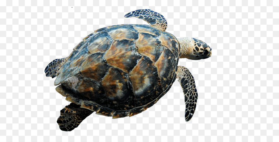 Hawksbill sea turtle clipart svg transparent library Sea Turtle Background png download - 640*442 - Free Transparent ... svg transparent library