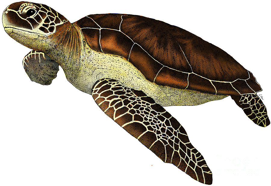 Hawksbill sea turtle clipart banner freeuse Free Scientific Illustrattion Of Image Of A Sea Turtle, Download ... banner freeuse