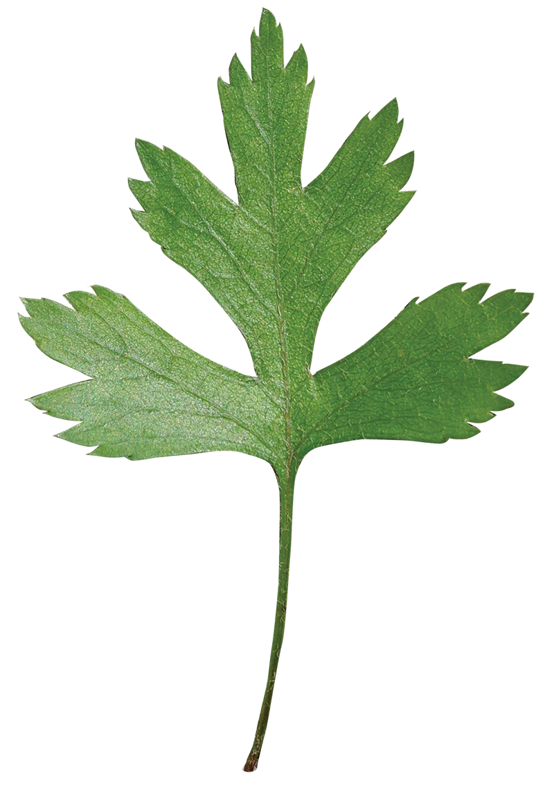 Hawthorn flower clipart picture download Parsley Hawthorn   Friends of the Louisiana State Arboretum ... picture download