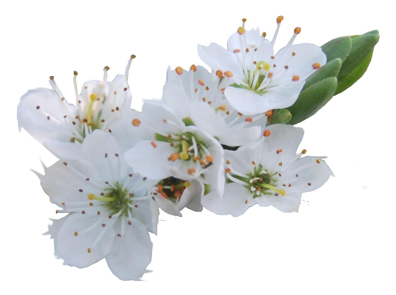 Hawthorn flower clipart vector Packs de recursos favourites by MissJanePattinson on DeviantArt vector