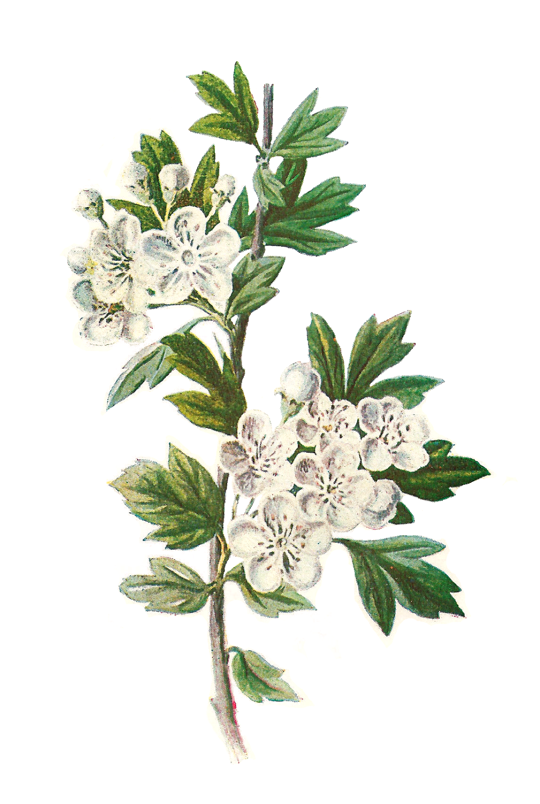 Hawthorn flower clipart clipart library download Antique Images: Digital Wildflower Hawthorn Clip Art Botanical ... clipart library download