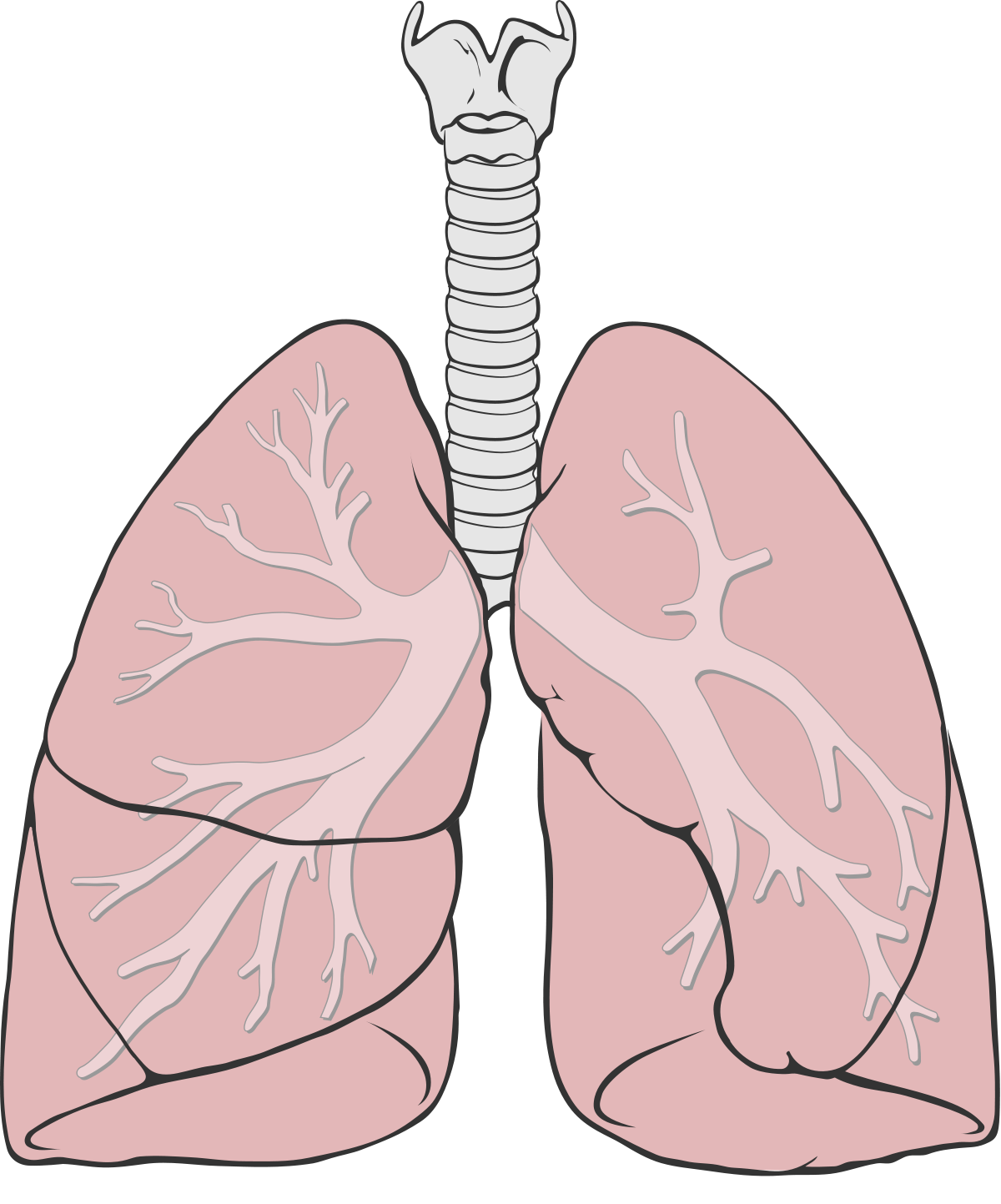 Heart and lungs clipart image free download Mapapu - Wikipedia image free download