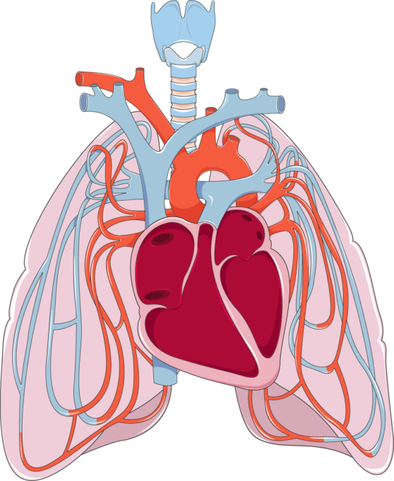 Heart and lungs clipart clip transparent library Pulmonary circulation - Servier Medical Art - 3000 free medical images clip transparent library