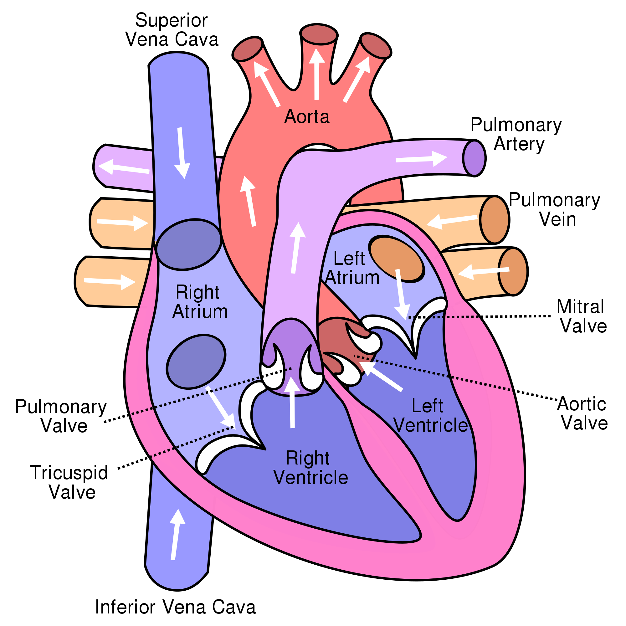 Heart clipart real png Real Heart Drawing#3828118 - Shop of Clipart Library png