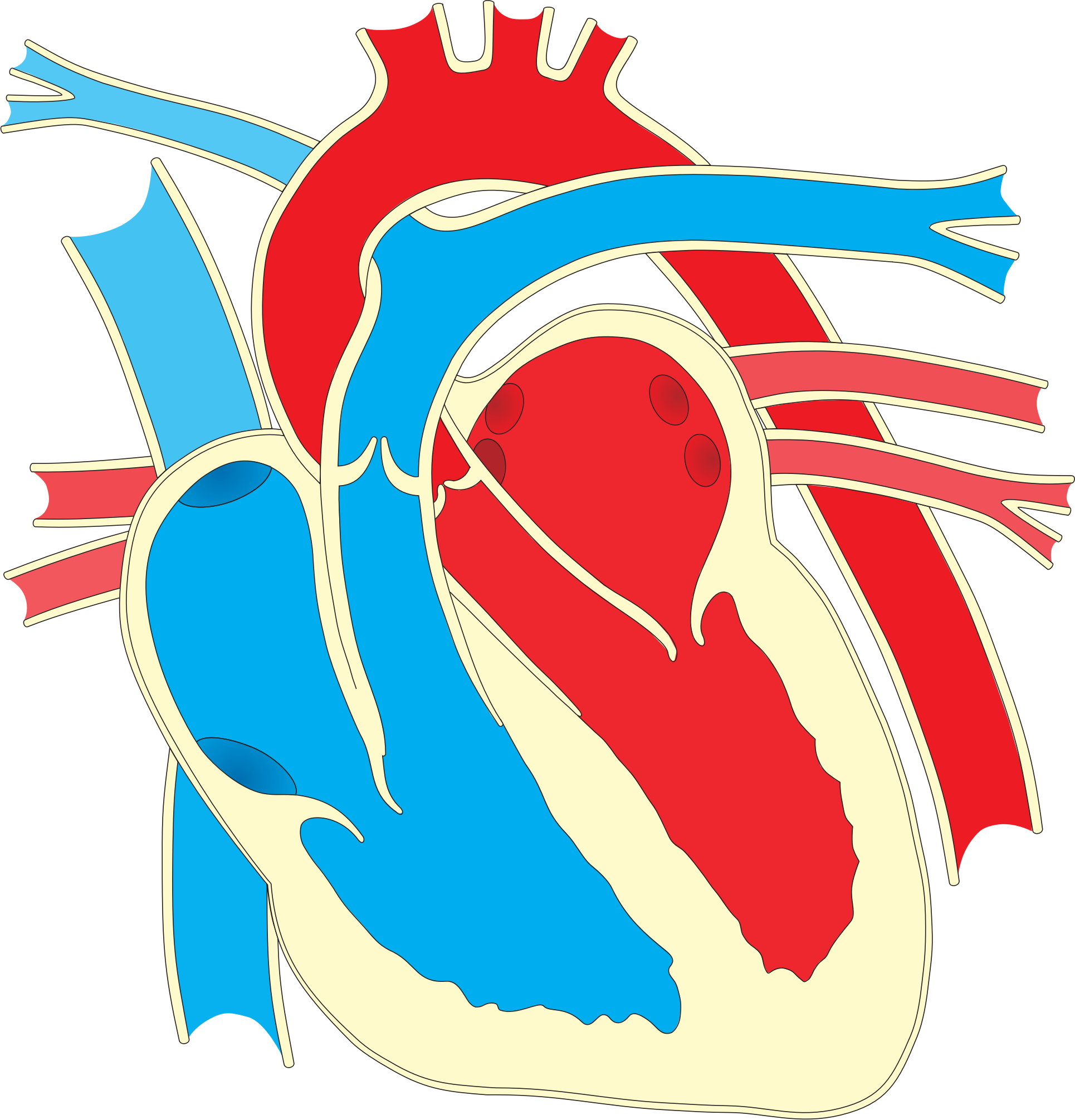 Heart diagram clipart png Clipart - Heart diagram 2 png