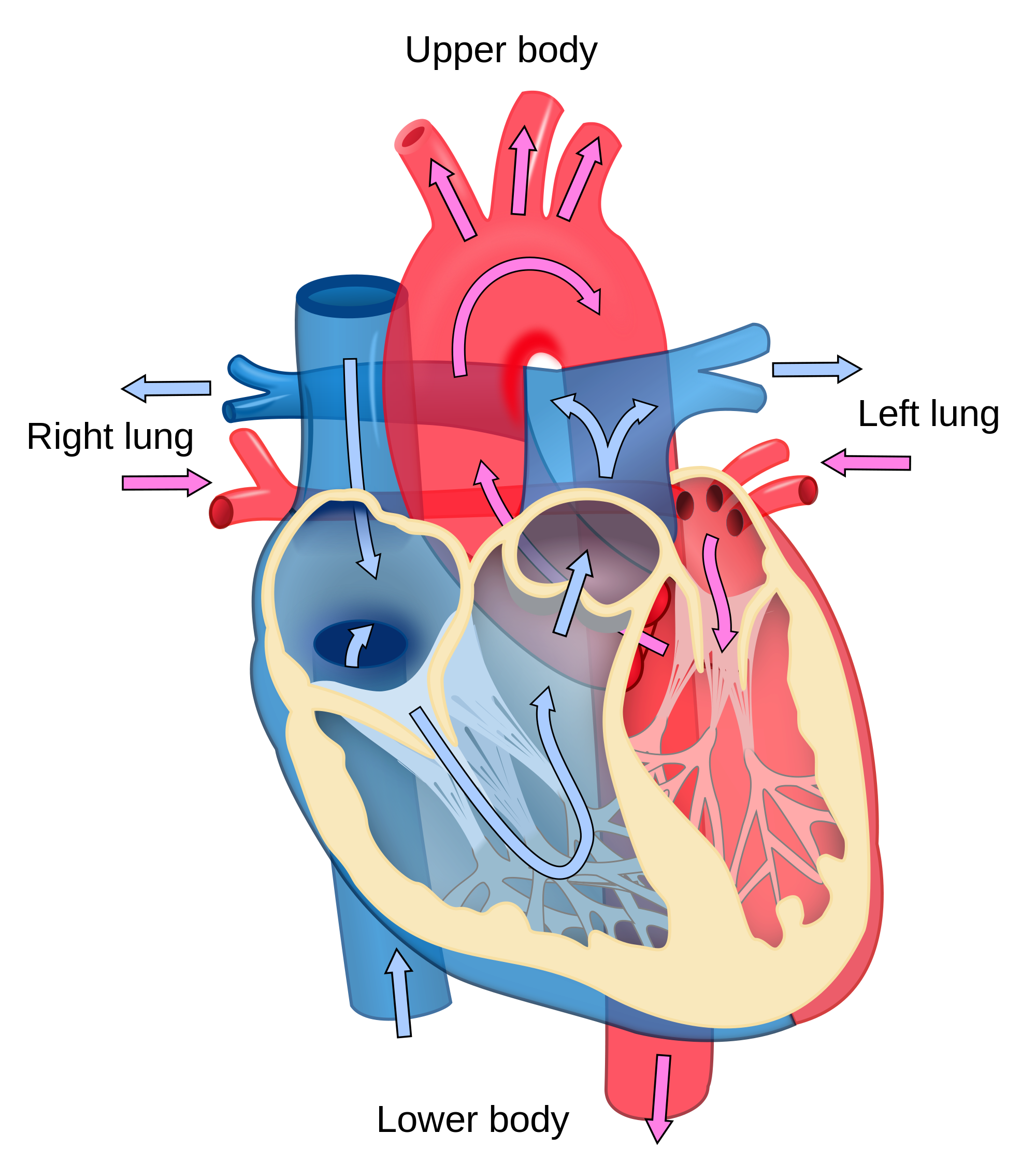 Human heart clipart blood flow clip art transparent download Body Systems - Lessons - Tes Teach clip art transparent download